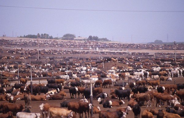 cattle-feed-lot.jpe