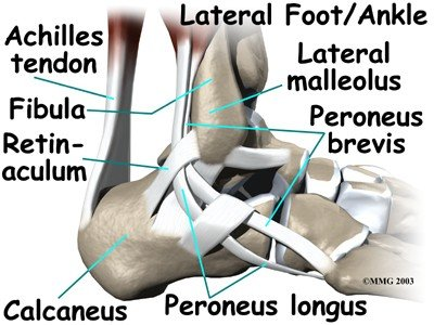1328469958-ankle_anatomy_tendons04.jpg.jpe
