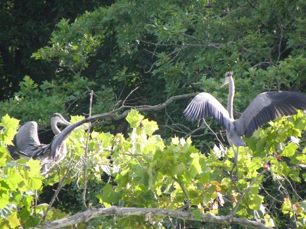 web-two-herons-courting.jpe