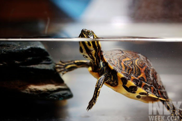 NCSU's Turtle Rescue Team helps wounded turtles come out of