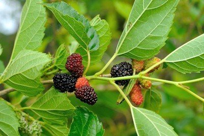 mulberry-fruit.jpe
