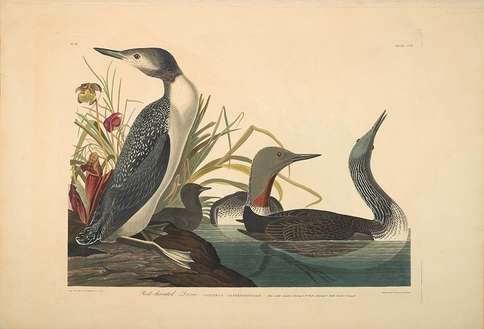 2.13-wwb-AUDUBON,-The-Birds-of-America,-Plate-202,-Red-throated-Diver,-G_74_27_3-202.jpg