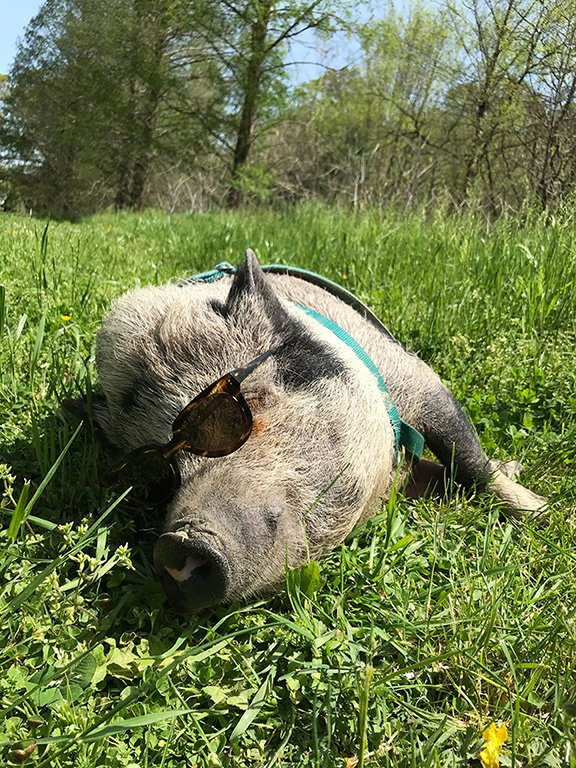 8.7_pets-contest_winner_-Jolene-the-Pig.jpg